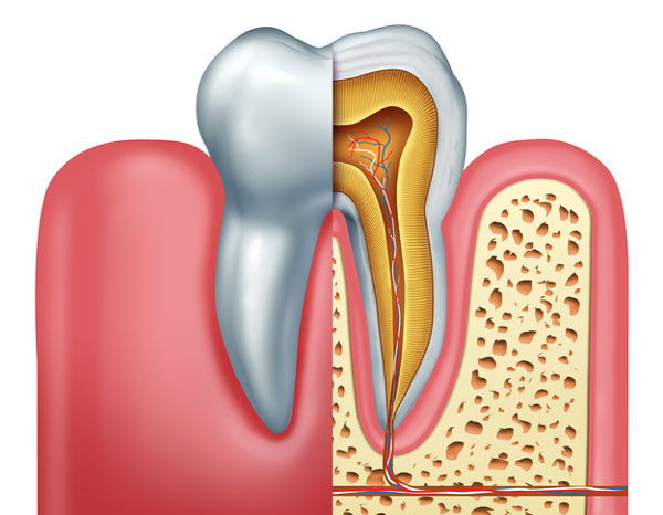 Diagram of tooth showing tooth root at D.A. Dental in Auburn, MA.
